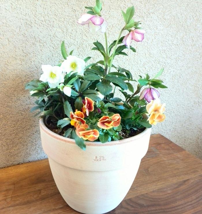 これは、2種類のクリスマスローズとパンジーを合わせた寄せ植えです。クリスマスローズは蕾から花が咲いて、ガクだけ残る状態になるまでにガクの色が変化する様子も美しく、咲き終わってもガクが残るので冬から春まで長い期間楽しめる組み合わせです。  一年草のパンジーは暑くなってくると終わりになり、クリスマスローズは休眠期に入ります。