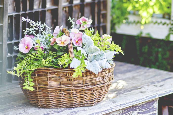 パンジーとビオラは冬から春にかけて花壇の主役となる、耐寒性の強い一年草。以前はパンジーは大輪で花の直径が3㎝以上、ビオラは小輪で花の直径が3㎝以下という定義がありましたが、現在では交配が進んだため、定義は曖昧になっています。大きめなものをパンジー、小さめなものをビオラと呼んでいます。