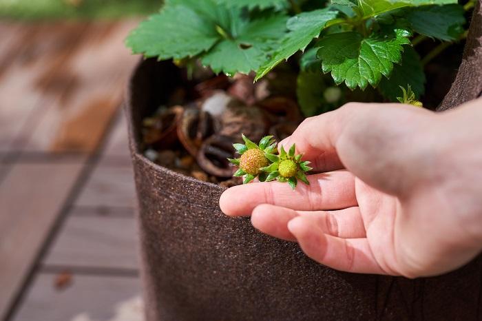 イチゴを甘くするコツは、お日様によく当てることです。植物は光合成により糖とでんぷんを作り出します。つまり日光と水と酸素のバランスがとれていることが大切です。イチゴを甘くするのは、何と言ってもお日様です。イチゴはしっかりと日当たりの良い場所で管理しましょう。