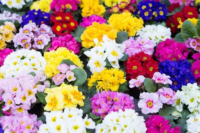 プリムラ・ジュリアン  プリムラは品種改良されたものを含めると約500種類もあると言われています。花色は白、黄色、赤、ピンクなどの単色から、白と紫、黄色と青のストライプのような個性的なタイプまであり、花の形も一重咲き、八重咲き、バラ咲きなど様々です。  寒い冬にこのようにカラフルで華やかなプリムラの花姿を見ると誰もが元気をもらえそうですね。華やかな色合いのプリムラの寄せ植えを飾って新年を迎えるのもおすすめです。