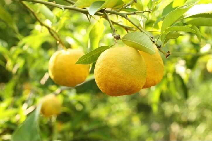 柚子(ゆず)は、ミカン科の常緑小高木。晩秋から冬にかけて鮮やかな黄色の香り高い実をつけます。柑橘系では珍しく耐寒性が高いため、風よけや幹の防寒は必要ですが、東北地方までなら栽培することができます。  栽培も柑橘の中では容易で、自家結実性があるので1本で実をつけます。柚子(ゆず)の枝には鋭く長い棘(トゲ)がありますが、最近は棘のない品種も出回っています。  柚子(ゆず)は種から育てると実がなるまでにとても時間がかかる果樹です。「桃栗3年、柿8年、柚子(ゆず)の大馬鹿18年」ということわざがあるほどです。大馬鹿とはなんともかわいそうな表現ですね……  しかし、最近では接ぎ木苗といって、すぐに実がつくように仕立てられた苗木がほとんどです。種から育てることにこだわりがないなら「接ぎ木の棘なし」の苗木を選ぶとよいでしょう。  柚子(ゆず)の実は、酸味が強く生食向きではありませんが、調味料、ジャムとして使われる他、強い香りで邪を払うということから冬至の柚子湯には欠かせません。