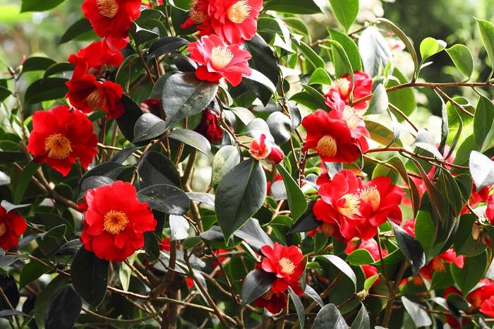 椿(ツバキ)はまだ寒いうちから花を咲かせる常緑高木です。早咲きのものは冬のうちから咲き始めます。椿(ツバキ)の花色は赤の他に白やピンクなどがあります。
