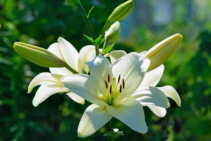 ユリは香りもよく気品があるといわれ、女性の供花に使用されることの多い花です。白いユリは控えめながらも、華やかさを演出してくれます。