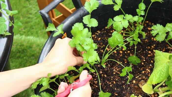 パクチーは、またの名をコリアンダーともいい、独特の香りが魅力のハーブです。日本の高温多湿に弱いため、春に種をまいて、初夏に収穫します。花を咲かせないように育てるのがコツです