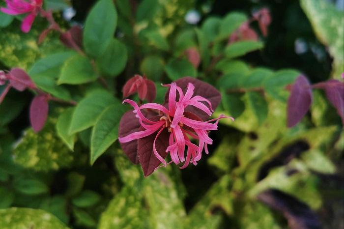 科名:マンサク科 開花期:4月~5月 分類:常緑高木 ベニバナトキワマンサクは1年中グリーンの丸い小さな葉と、リボンのような細かい花が印象的な常緑高木です。庭木としても人気があります。