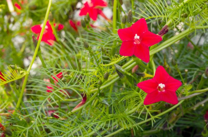 ルコウソウは直径3㎝程の小さなラッパ型の花を咲かせるつる植物です。暖地では多年草ですが、寒さに弱いので一年草とされています。ルコウソウの花色は赤の他に白があります。