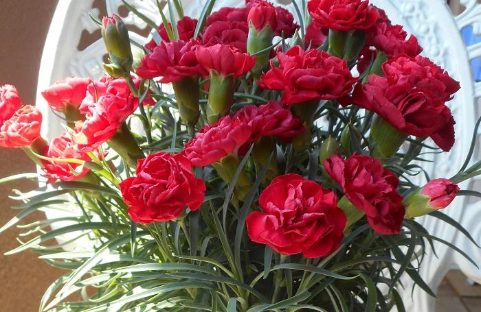 カーネーションは春と秋に花を咲かせるナデシコ科の多年草です。赤いカーネーションは母の日の贈り物としても有名です。カーネーションの花色は赤の他に、白、ピンク、グリーン、黄色、オレンジ、紫、複色等があります。
