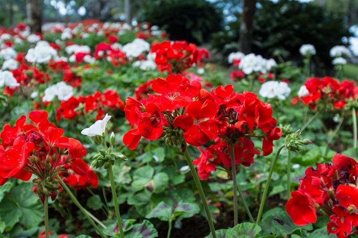 ゼラニウムは光沢のある葉と爽やかな香りが魅力の多年草です。寒さが苦手で品種によっては日本では越冬できないものもあります。ゼラニウムの花色は赤の他に、白、ピンク、複色等があります。