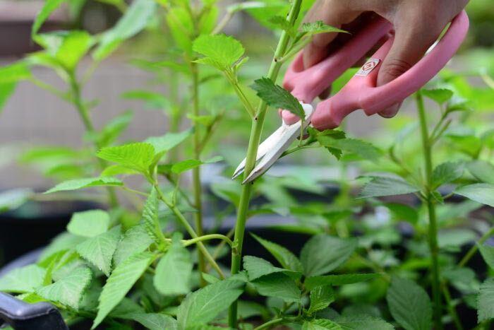 モロヘイヤは春に種をまいて夏から秋まで収穫できる野菜です。独特の粘りが特徴で、栄養価が高いのも魅力です。