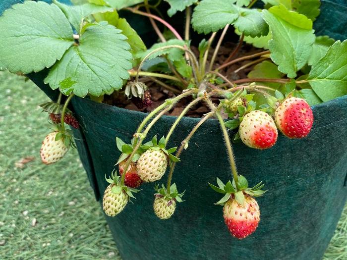 イチゴは深く根を張る植物ではないので、プランターの深さは20㎝程度で問題なく育てられます。数株をまとめて植え付ける場合は横に長さのあるプランターを選ぶと管理が楽になります。