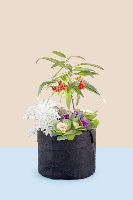 新年にふさわしい縁起木、百両がメインの寄せ植え。和のイメージの百両と葉牡丹に、ふわふわした銀白色のシロタエギクを添えて冬らしくまとめます。寒い時期はそれほど生長しないので、コンパクトに美しく楽しむことができます。