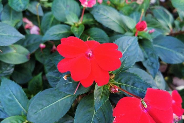 科名:ツリフネソウ科 開花期:5月~10月 分類:一年草 インパチェンスは日陰に強く、夏の暑い盛りにも色鮮やかな花を咲かせる一年草です。インパチェンスの花色は赤の他に、白、ピンク、オレンジなどがあります。