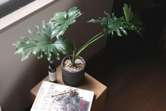 セロームは直立性のフィロデンドロンで、切れ込みが入った大きい葉と突起の生えた幹が魅力。また、幹の途中から気根を出す場合があります。樹液にはシュウ酸カルシウムが含まれているため、口に入らないよう要注意。  セロームを室内で育てる時は直射日光の入る窓辺など明るく風通しの良い場所に置きます。育てているうちに徒長をしてくるようであれば屋外栽培に切り替えます。また、セロームにエアコンの風などが直接当たってしまうと枯れてしまうことがあるため、エアコンの風が当たらない風通しと日当たりの良い場所に置きましょう。
