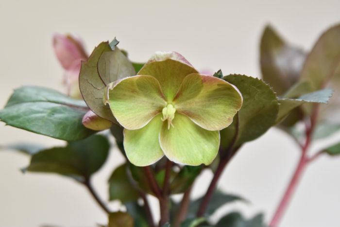 冬から早春の花の少ない時期に、ひっそりと花を咲かせるクリスマスローズ。12月は古い葉を切り取る季節ですね。痛んだ古葉を切ることで根際に日が当たり、病害虫の発生を防いだり、花芽のたち上がりがよくなります。