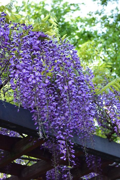 藤の花は古くから振り袖姿の女性に例えられるように、優雅で柔らかい印象を与える花です。庭園や公園で目にする藤棚のイメージが強く、自宅で育てるのは難しいように感じてしまいますが、じつは藤は鉢植えでも楽しめます。根の成長が制限されることから、むしろ鉢植えの方が花つきがよくなるほどです。
