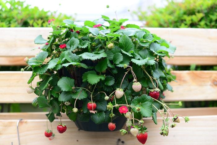 イチゴはバラ科フラガリア属の多年草です。イチゴは果物として扱われていますが、木になる果実ではないので、正しくは野菜に分類されます。現在イチゴと呼ばれて流通しているものは、オランダイチゴの仲間になります。