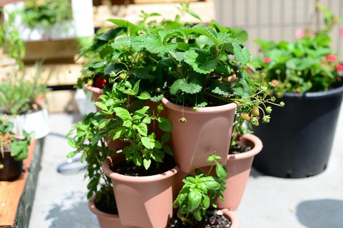 イチゴの栽培に適した、ストロベリーポットというプランターもあります。大きめのプランターに何口か植え込み口があり、それぞれにイチゴの苗を植え付けられます。場所を取らずに効率よくイチゴを育てたいときに便利です。