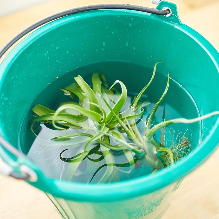 植物ラバーならやっぱり、ティランジアのソーキングに使えるかも?と思ったはず。