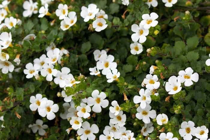 バコパ(ステラ)は秋から春に小さな花を次々と咲かせる多年草。花の少ない冬に多く流通します。バコパ(ステラ)は温暖地であれば屋外で冬越しできます。夏の高温多湿に弱いので、上手に夏越しできると周年楽しめます。  バコパ(ステラ)はやわらかい茎が這うように伸びるため、寄せ植えの縁取りに使ったり、目線の高い位置から垂れ下がるように飾っても美しいです。