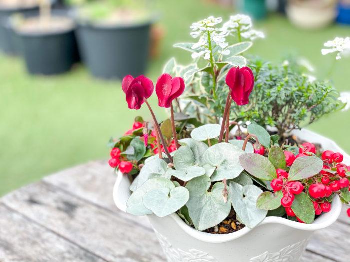 品種改良されたシクラメンで小型のものをミニシクラメン、さらに寒さに強いものをガーデンシクラメンと呼びます。花壇への植え付けは霜が降りてくる前に済ませて、十分に根を張らせると耐寒性が増します。