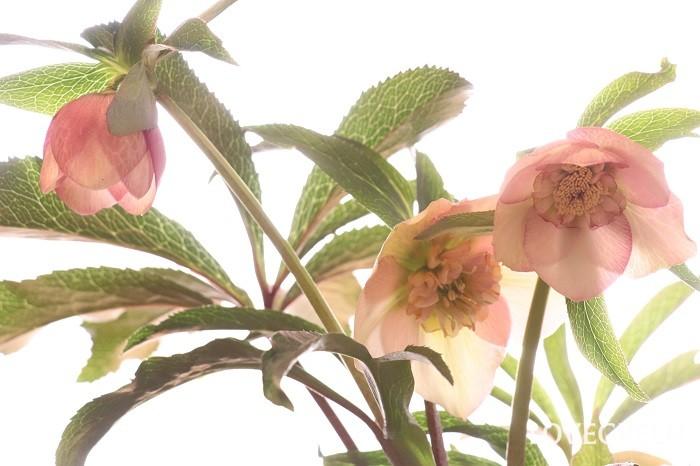 クリスマスローズは、花が少ない冬の時期に花を咲かせる常緑の多年草。ややうつむきながら咲く花の顔をこちらに向けてみると、その美しさに魅了されます。お手入れもそれほど難しくないので初心者にもおすすめです。  「冬の貴婦人」という愛称でも呼ばれています。