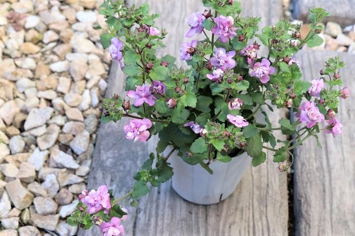 バコパ(ステラ)の花は白やピンク、紫などがあり、一重咲きの他、八重咲タイプもあります。バコパ(ステラ)の葉色はライム色やライム色の斑入り種もあり、花が咲かない季節もカラーリーフとして葉を楽しめます。