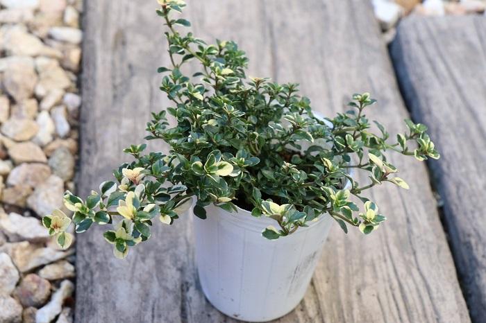 フォックスリータイムは、緑色の葉にクリーム色の斑が入った小さな葉をたくさんつける多年草。爽やかな香りが心地良いです。  寄せ植えに使うと、明るい細やかな葉が華やかさをプラスしてくれます。這うように生長し、寒くなると紅葉して葉がピンク色になる姿も可愛いです。