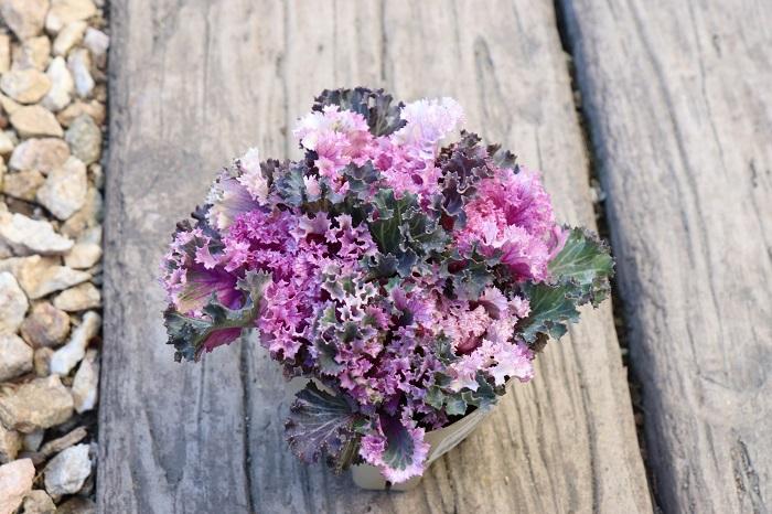 フリンジ系のハボタンもあります。ちりちりとしたフリンジが可愛らしく、紫色のグラデーションも美しいので寄せ植えのアクセントに重宝します。株元が数本に分かれている場合は、分けて使うことができます。