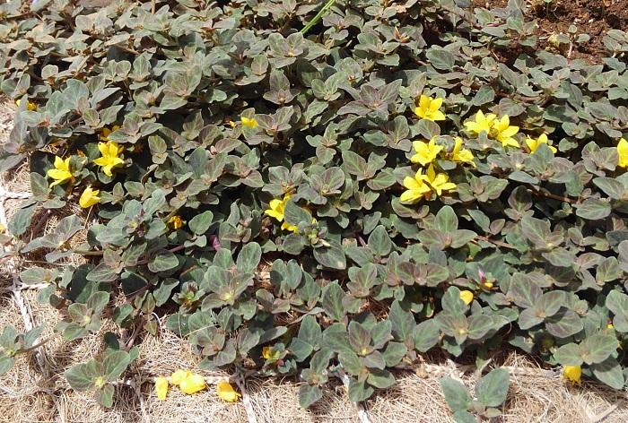 リシマキア'ミッドナイトサン'  リシマキア'シューティングスター'よりもっとシックな雰囲気を出したいときは、深いブロンズ色の葉が魅力的なリシマキア'ミッドナイトサン'もおすすめです。