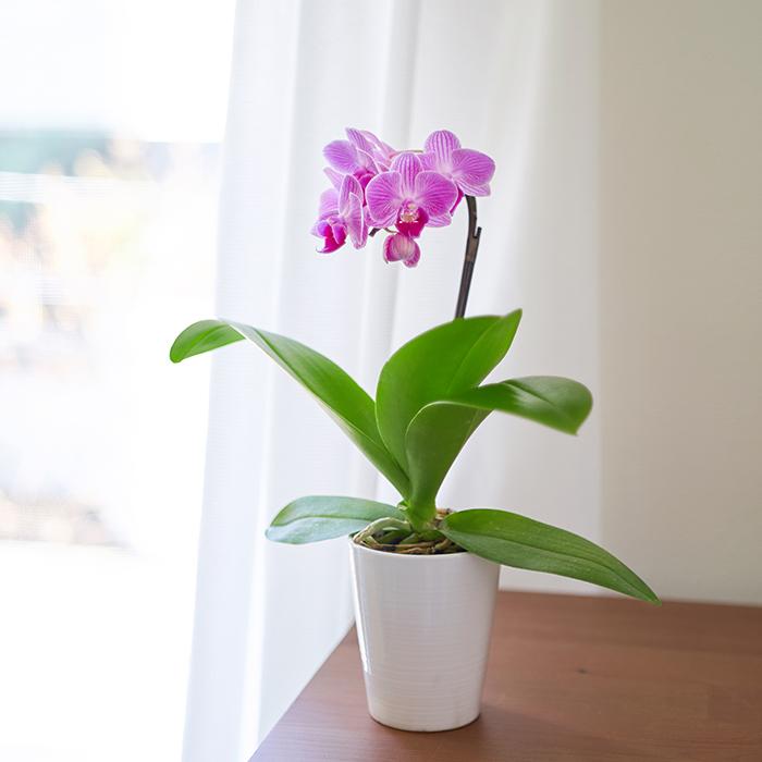 デスク横やキッチンに。ちょこんと置いて飾ることができるマイクロ胡蝶蘭