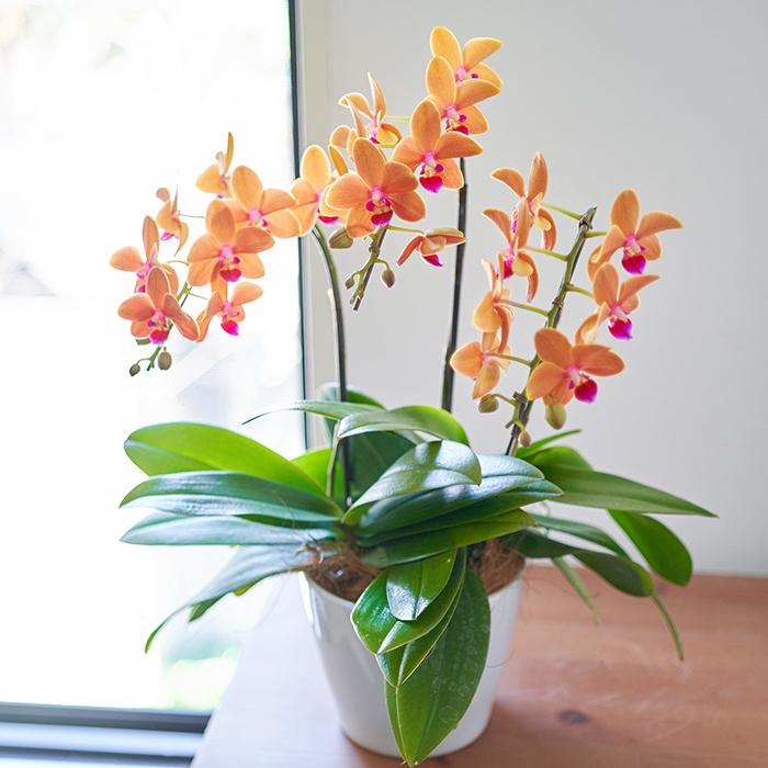 あまり見ないオレンジ色の胡蝶蘭。さらにリップの色は紫がかったピンク色がポイントになり、見ているだけで元気になれる胡蝶蘭です。