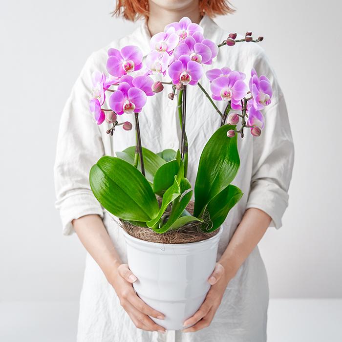 胡蝶蘭の花言葉は「幸福が飛んでくる」。花期も長いため、長く楽しむことができる点が魅力です。