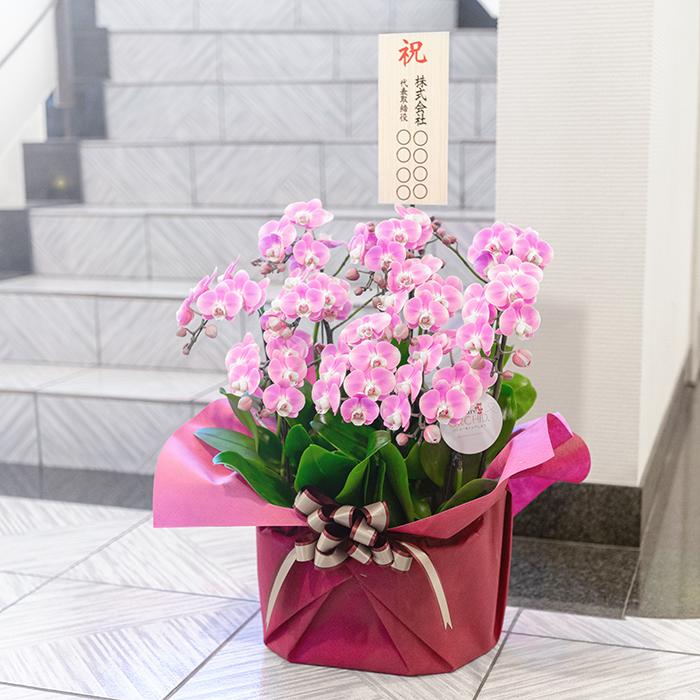 コチョウラン(胡蝶蘭)贈り物 お祝い