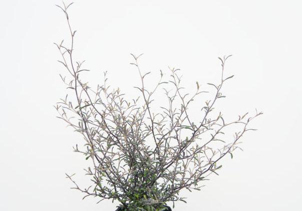 コロキアはくねくね曲がって伸びる細い枝に銀色の細かい葉をつける常緑低木。  こまめに剪定して盆栽風に仕立てることもでき、そのままにしておいても自然に個性的な樹形に育ちます。寄せ植えの背景に使うと上品でワンランクアップした仕上がりになります。