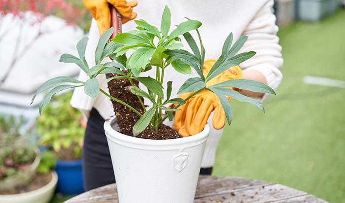 サイズは多く流通している、13.5cmのポットを化粧鉢のようにそのまま入れ込むのに相応しいMサイズと、植え替えに適したLサイズをご用意。  もちろん、クリスマスローズのみならず幅広い植物にお使いいただける贅沢な鉢。  繊細で可憐な花姿のクリスマスローズをより引き立てる、額縁のような鉢がこの「Rose de Noel Parfaite」です。