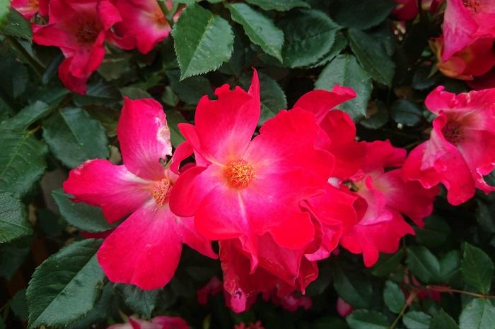 科名:バラ科 開花期:4月~6月、9月~11月 分類:落葉低木 バラは花色、咲き方、香り、どれをとっても美しく、花の女王と呼ばれる花です。品種によっては秋に咲くバラ、四季咲きのバラなどがあります。バラの花色は赤の他に、グリーン、白、ピンク、オレンジ、黄色、紫、複色等があります。