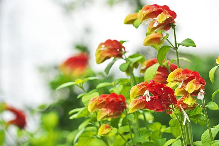 ベルベロンは別名を、ベルベロネ、ベルペロネ、ベロペロネ、コエビソウなどとも言います。エビのようなちょっと変わったフォルムの花を咲かせる多年草です。ベルベロンの花色は赤を含む複色です。