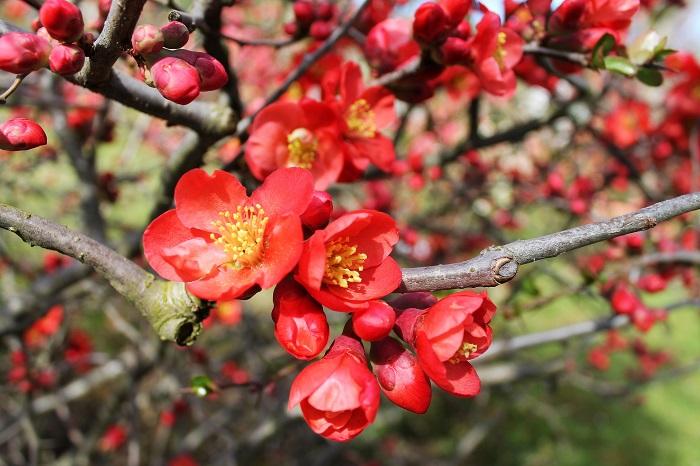 ボケ(木瓜)は冬から春にかけて花を咲かせる落葉低木です。漢字の木瓜は、ボケ(木瓜)の実がウリのような形状をしているところから名付けられたとされています。ボケ(木瓜)の花色は赤の他に白やピンクがあります。