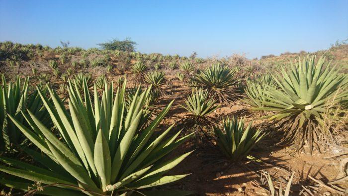 またこの村から小一時間のところには雄大なサイザル畑がある。果てしなく広がっている。リュウゼツラン属(学名:Agave sisalana)は、リュウゼツラン属の植物。実際には麻の仲間ではないが、歴史的に最も使われてきた繊維である麻にちなんでこの樹から取れる繊維を「サイザルアサ」と命名されたとのこと。ちなみに「サイザル」は、この繊維が以前よく船で積み出しされていたサイザル港にちなんでいるらしい。これから取れる繊維はロープなどに使われており、そういえば学生の時の地理などで学んだような記憶がある。