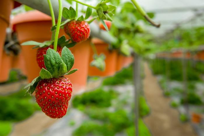 イチゴはランナーという、つるのような茎を伸ばしてその先に花や実をつけます。ランナーの先のイチゴが地面などにぶつかってしまうと、せっかくのイチゴの実が変形したり、傷んだりする原因となります。  イチゴ棚とは、赤くきれいなイチゴをたくさん収穫するために高さのある棚にプランターを設置して、ランナーをプランターの外に垂らすようにするためのものです。