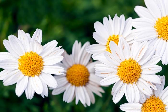 真白で可憐なマーガレットは、他の花たちを引き立てるような存在です。控えめながら優しい存在感を放ちます。可憐な女性への哀悼の気持ちを込めて贈りたくなるような花です。
