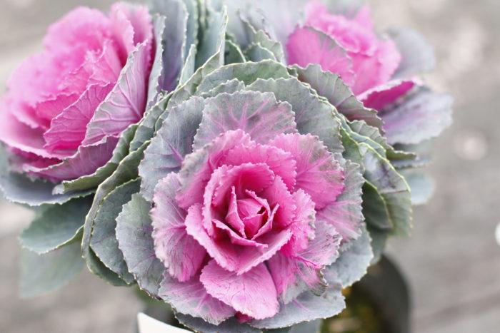 ハボタンは寒さに強く、冬の間は草丈が変わらずに美しい姿を保ちます。バラの花びらのようにも見える部分はハボタンの葉。ハボタンは葉を愛でる植物とされています。寄せ植えに使うと、春まではほぼ植えたときの状態なのであまり間隔をあけずに植えます。  ミニハボタンのポット苗には数本の株が入っているので、寄せ植えに株分けして使うことができて便利です。