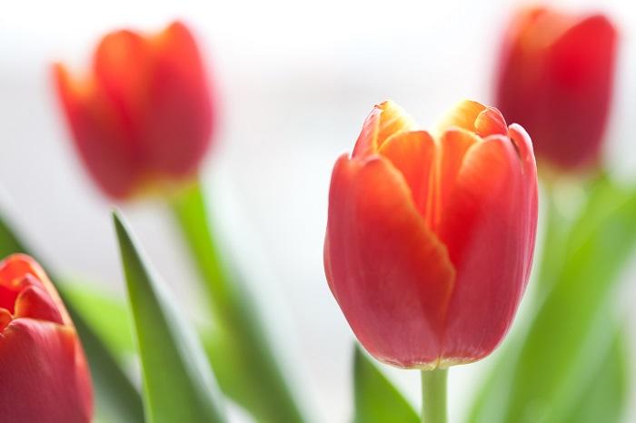 チューリップは春を代表するような球根植物です。花色や咲き方も豊富で、ファンが多い花です。チューリップの花色は他に、白、ピンク、オレンジ、黄色、紫、複色等があります。