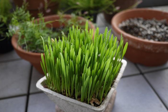 和名:猫草 英名:cat grass 猫草とは 猫草、キャットグラス、ペットサラダなど様々な呼び方で流通している猫草。「猫草」という名前の植物はありません。  猫草とは、イネ科の植物の若い芽です。特に1種類の植物に限ったものではありません。大麦や燕麦といったイネ科の植物の新芽が「猫草」という名前で流通しています。