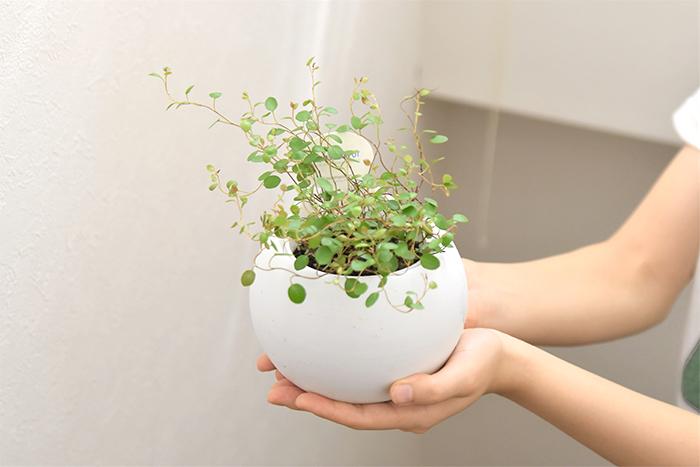 ワイヤープランツは小さなグリーンの葉が可愛らしい、匍匐性常緑小低木です。ワイヤープランツという名前の通り、細いワイヤー(針金)の様な茎が特徴的です、耐寒性が非常に強い植物です。