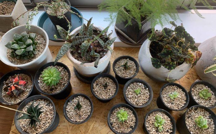 ちなみに寒くなってきたころに植物を室外から室内に取り込む基準。これも植物ごと千差万別ですので全てはお伝えできないのですが、その植物の自生地を考えてみるのもおすすめです。  自分の育てている植物が、自生地では日本の冬の寒さに慣れている品種なのか、そうでないのか。その状態に可能な限り近づけてあげようと考えた時に、10℃は耐えられるだろうとか、いや15℃でもきついんじゃないか…などなど。  新たな植物の魅力を知るきっかけにもなります。