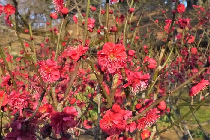 科名:バラ科 開花期:2月~3月 分類:落葉高木 春を代表する花、梅。中国原産の落葉高木です。主に実を収穫するための梅は実梅、花を観賞するための梅は花梅と呼ばれます。梅の花色は他に白があります。