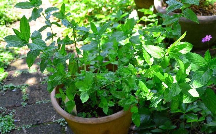 ミントは清涼感のある香りで有名なシソ科のハーブです。地下茎で増えるので直径の大きなプランターで育てるとどんどん増えます。冬の間は少し葉が減りますが、ほぼ一年中収穫できます。夏は直射日光を避けて、風通しの良い半日陰で管理するとよく育ちます。