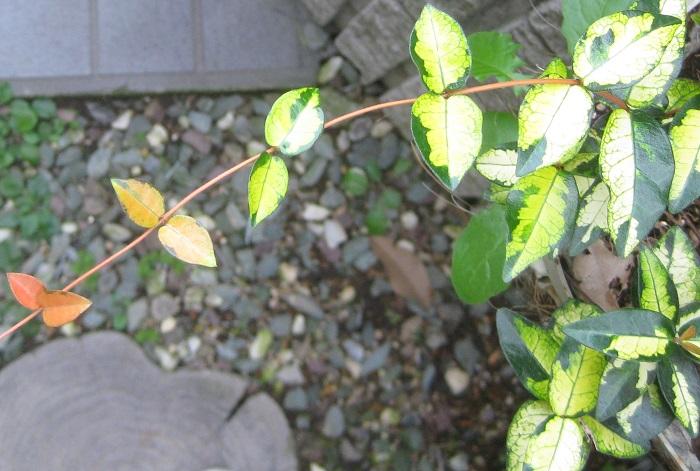 テイカカズラ'黄金錦'は、濃い緑色に黄色い斑が幅広く入り、新芽がオレンジ色ではっきりとしたトリカラーが美しいカラーリーフです。テイカカズラ'黄金錦'を使うと明るい豪華な雰囲気をつくることができ、伸びやかなつるも寄せ植えのアクセントになります。