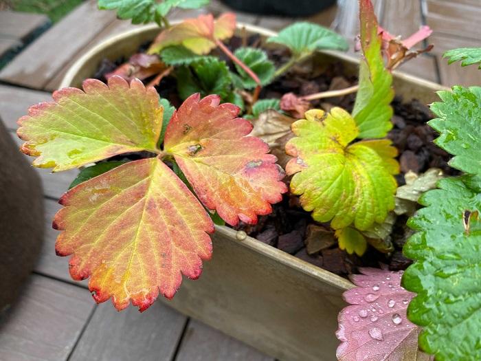 チゴは冬になり、気温が下がってくると休眠します。休眠をしたイチゴは生長がゆっくりになり元気がなくなったように見えますが、枯れてしまったわけではないので問題ありません。地域によっては、気温の下がりに反応して葉が紅葉することもあります。